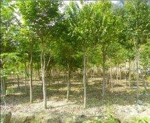 沉香树的种植和管理