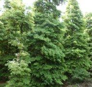永发金丝楠木树
