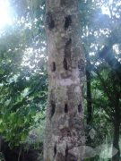 沉香树的凿洞开香法
