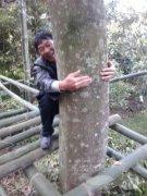 福建省内最大棵最古老的沉香树