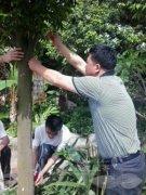 2013年5月广东惠州对沉香树挂菌开