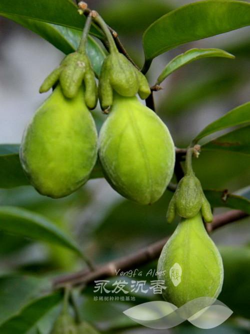 沉香树种植技术_土沉香树种的果子_中国永发沉香树种植基地