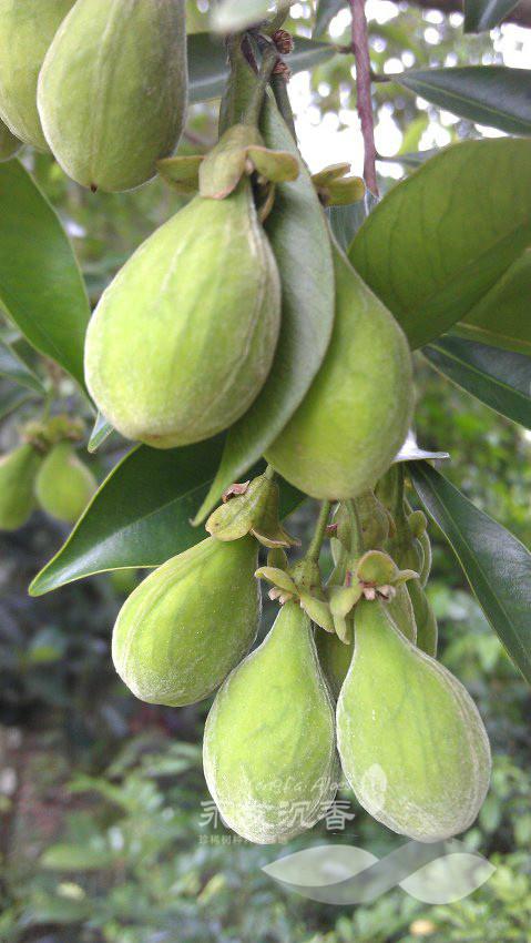 图,土沉香树的果实