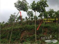 修剪后挺拔的沉香树主干