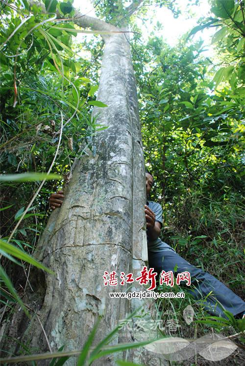 女孩被栓大树5年_这是一颗300多年树龄的沉香大树,树身直径大概1米左右