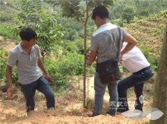 台湾结香技术——2公分树进行植