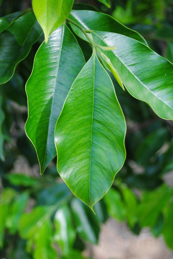 沉香树叶子高清图