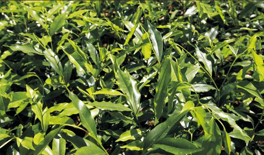 海南沉香树苗品种好不好,在广东福建好种植吗