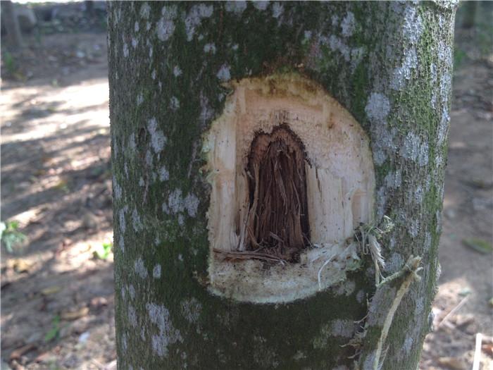 漳州3个月与半年的沉香树挂菌效
