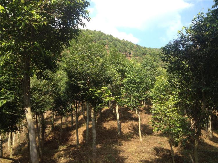 米径10公分左右的沉香树