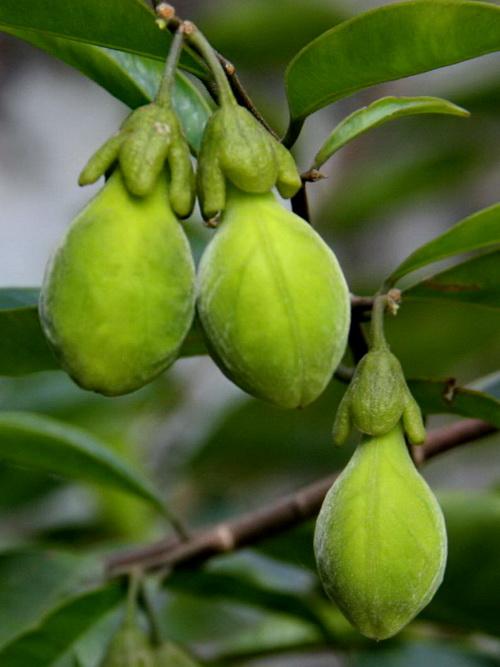 土沉香树种的果子