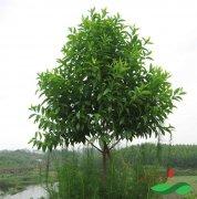 檀香树——古老神秘的名贵树种