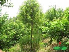 名贵树檀香的种植环境条件和生物