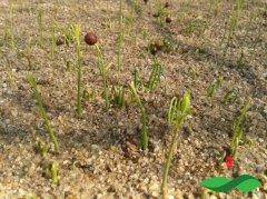檀香树苗种子要怎么进行培育和打