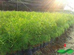 最专业全面的檀香树种植和栽培技