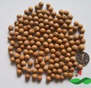 正宗的檀香树种子长什么样子 檀