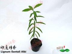 名贵树印度檀香树苗的栽培种植技