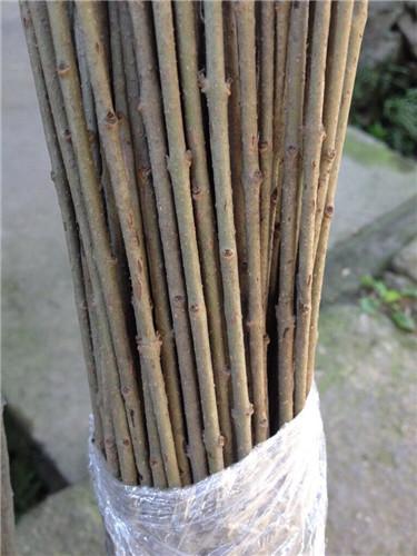 沉香树苗价格         如何辨别树种是不是沉香树苗呢?