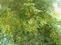 正宗的海南黄花梨种子是什么样子