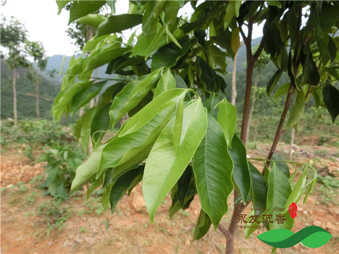 云南天然沉香树图片_沉香树树叶的图片和外观形状特征哪里有_中国永发沉香树种植基地