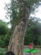 价值50万元上百年多的老沉香树