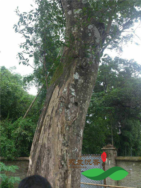 沉香树种植技术_价值50万元上百年多的老沉香树_中国永发沉香树种植基地