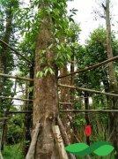 国外30公分以上的野生沉香树资源