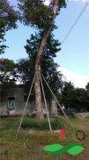 2棵直径50公分左右的沉香树移植价