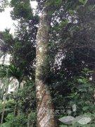 东南亚加里曼丹岛的野生沉香树