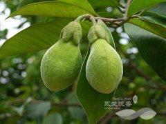 2015年夏季成熟的沉香种子