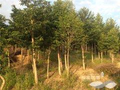 种植5年胸径达6到8公分的沉香树