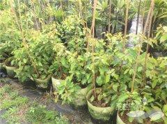 大规格美植袋牛樟树苗,移植方便