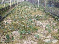 培育牛樟树苗的其中一种方法