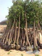 胸径6-8公分的牛樟树