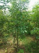 台湾国宝牛樟树苗高标准种植技术