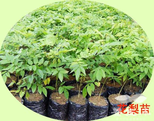 黄花梨树苗的培育