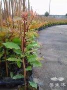 位于基地苗圃的台湾牛樟树小苗