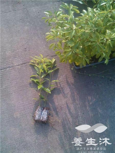 台湾牛樟树组培苗
