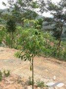 金丝楠木最好的品种——小叶祯楠