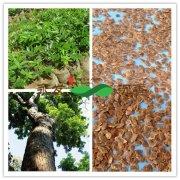 <font color='#FF0000'>黄花梨种子栽培技术与幼苗种植技</font>