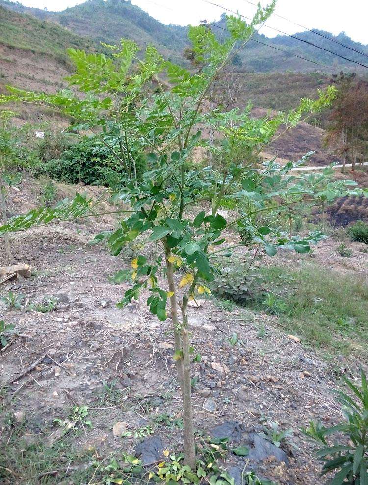 辣木籽种植方法与管理技术