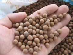 檀香种子的播种技术与檀香树的种