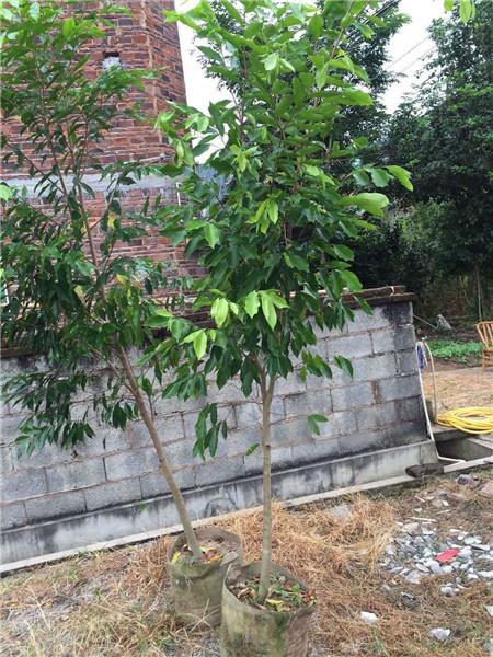 袋苗沉香树3年树龄,3公分左右最