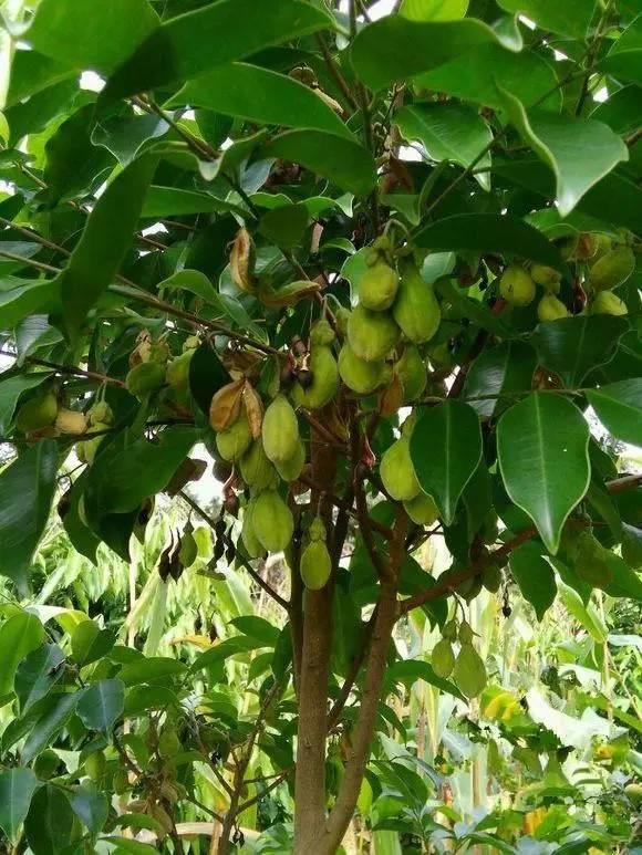 如何种植沉香树_沉香种子的习性和季节性是如何_中国永发沉香树种植基地