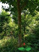 见证成年沉香树的人工开香过程