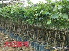 2017年基地新增供应的名贵树种
