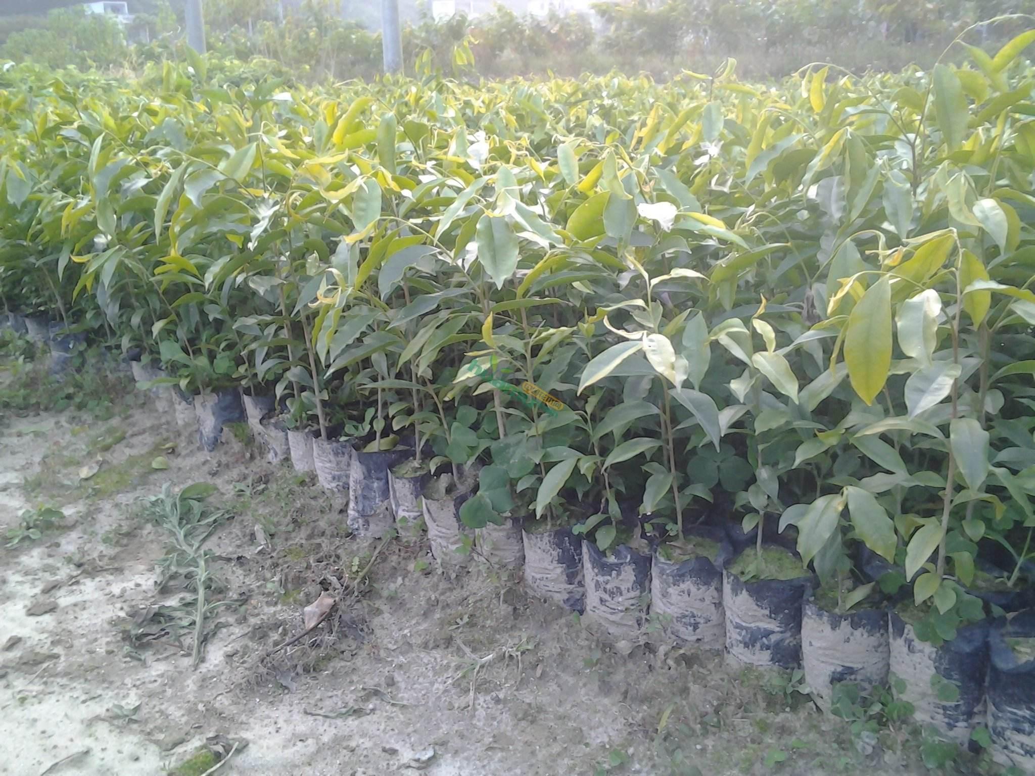 三个月至六月大时可移到树荫下或屋檐下;让树苗接受太阳洗礼树会比较