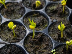 沉香种子的发芽过程——美仑而神