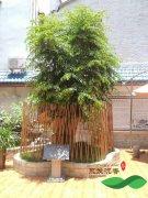 价值上百万的老沉香树 百年树龄