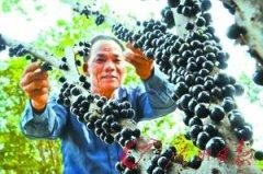 水果贵族树葡萄超百元一斤 还是